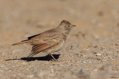 Desert Lark (Dave 5533) Tags: desertlark songbird animal wild nature bird canoneos1dx canonef300mmf28 birds birdphotography birdwatcher birdwatching birdsinisrael naturephotography animalplanet wildlife wildlifephotography outdoor