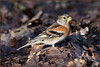 Brambling (image 2 of 3) (Full Moon Images) Tags: rspb sandy lodge thelodge wildlife nature reserve bedfordshire bird brambling
