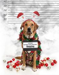 Mug Shot: woof woof (YetAnotherLisa) Tags: dog shame mugshot christmas cute lineup arrest police humor holiday funny uglysweater