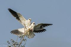 Honey,Here's Breakfast!! (Vikas.B.Chavan) Tags: blackwingedkite elanuscaeruleus nikond7100 afsnikkor300mmf4difed nikontc17eii