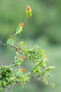 Small flock of Lilian's lovebirds (Agapornis lilianae) perched together