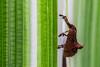 Pyralid Snout Moth (Sacada (Sybrida, Datanoides) sp., Pyralinae, Pyralidae) (Phalinn Ooi) Tags: sepilokorangutanrehabilitationcentre sunbear sepilok rainforestdiscoverycentre rainforest jungle wildlife sandakan kinabatangan river sukau bilit sabah borneo malaysia asia nature outdoor adventure safari holiday animal orangutan proboscis monkey silverleaf lutung langur crocodile snake monitorlizard boat labukbay myne resort canon eos dslr photography egret bird wanderlust travel family beautiful view love wife trekking macro flower insect tree forest 5dmarkiv beardedpig water cruise alam world scenery flora fauna megadiverse biodiversity landscape people sexy woman barcelona naturalist