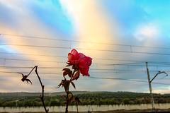 Rosa del tren (arapaci67) Tags: rosas ferrocarril trenes vias canon70d tokina estación estaciones villanuevadelareina jaén andalucía españa spain nature red pink