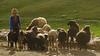 The Good Shepherd (sakthi vinodhini) Tags: komic spiti himachal pradesh village cattle grazing farming animals shepherd india incredible himalayas mountains sheep trek