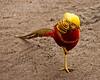 One Small Step (MrBlueSky*) Tags: goldenpheasant pheasant bird nature wildlife outdoor kewgardens royalbotanicgardens london aficionados pentax pentaxart pentaxlife pentaxawards pentaxflickraward pentaxk20d colour