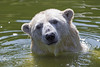 A polar bear in the water (Tambako the Jaguar) Tags: polarbear bear white male portrait face water surface bathing berlin tierpark germany nikon d5