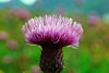 Happy Weekend............ (atsjebosma) Tags: thistle distel purple paars bokeh colourful kleurrijk atsjebosma eggum lofoten norway 2018 ngc coth5