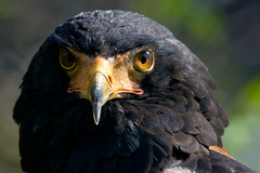 Gaukler (Terathopius ecaudatus) (kalakeli) Tags: gaukler terathopiusecaudatus bateleur raubvögel birdsofprey birds vögel 2017 april zoo wuppertalerzoo zoowuppertal zoologicalgarden animals