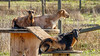 Goats (Bob Gunderson) Tags: california coyotevalley northerncalifornia santaclaracounty southbay