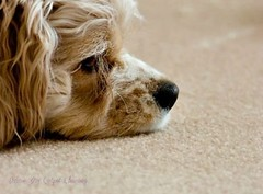 Relaxing dog (Deluxe Dry Carpet) Tags: dog terrier pose canine cute sweet hairy majestic domestic animal white brown color profile sleeping resting relaxing looking upholsteryandcarpetcleaningsofacleaningdryfurniturecleaningcompanydrycarpetcleaning
