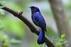 Large Niltava (My Pixel Magic) Tags: bird largeniltava birdofmalaysia birds cutebird beautifulbird nature wildlife wildlifephotography mypixelmagic parthaphotography