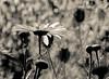 ..sweet surrender.. (dawn.tranter) Tags: dawntranter mbt monochrome garden flowers backlit daisies sweet summer