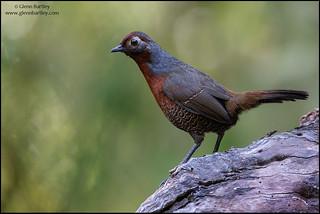 Chestnut-throated Huet-huet(Pteroptochos castaneus)