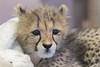 Roketi (ToddLahman) Tags: roketi cheetah cheetahcub beautiful female lowlight indoor mammal cute cub sandiegozoosafaripark safaripark animal animalambassador animalcarecenter canon7dmkii canon canon100400 closeup