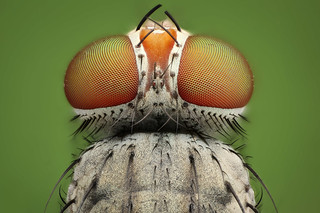 Studio macro: small fly
