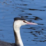 Great Crested Grebe P1520708 thumbnail
