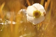 Sorpresa di dicembre. (@5imonapol) Tags: flower elleboro winter december sun sunlight light bokeh grass