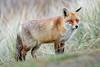 Red fox / Rode vos (Wim Hoek) Tags: amsterdamsewaterleidingduinen december mammals 2017 nationalparks naturereserves natuurgebieden parks zoogdieren bentveld noordholland netherlands nl winter landroofdieren outdoor wildlife mammalgroups
