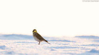 Shore lark [Explored]