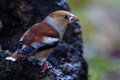 Hawfinch - Record Shot :-) (Robin M Morrison) Tags: hawfinch parkend forest dean forestofdean dark