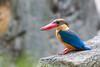 Stork-billed Kingfisher (RoosterMan64) Tags: bird nature singapore singaporezoo storkbilledkingfisher wildlife kingfisher