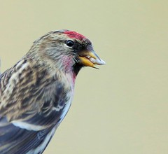 REDPOLL (merseymouse) Tags: redpoll birds beaks sky finch nature wildlife
