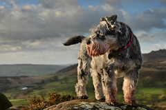 Darcy May May (PentlandPirate of the North) Tags: mountain miniatureschnauzer ramshawrocks staffordshire theroaches dog pet