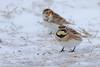 Horned Lark and Lapland Longspur (astro/nature guy) Tags: illinoisbird bird longspur laplandlongspur lark hornedlark