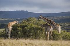 Family Breakfast (jbarc in BC) Tags: lalibela lalibelagamereserve southafrica easterncape wildlife giraffe giraffes animals grass tree safari telephoto nikon nikond750