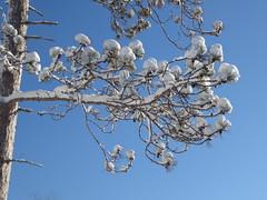Snow on our red pine (yooperann) Tags: blue sky sunshine pine tree branch snow gwinn upper peninsula michigan
