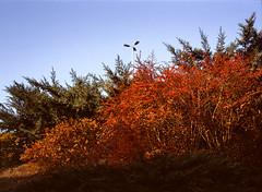 Katowice, Poland. (wojszyca) Tags: fuji fujica gsw680iii 6x8 120 mediumformat fujinon sw 65mm gossen lunaprosbc epson v800 kodak ektachrome e100g lamp vegetation leaves bush