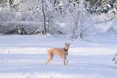 DSC_0046 (justinluv) Tags: prima doberman whitedoberman albinodoberman dobermanpinscher dobe dobie puppy