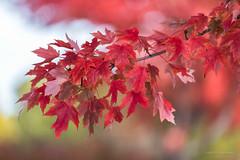 Looking for color! (karindebruin) Tags: red autumn herfst bladeren leaves