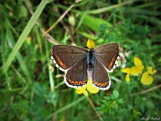 Butterfly 1529