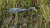 Aigrette Bleue, Floride, USA - 334 (rivai56) Tags: bocaraton floride étatsunis us aigrette bleue dans un étang du parc green cay nature center wetlands blueegret florida usa
