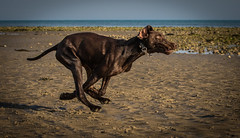Typical GSP (Paul`s dog photography) Tags: gspgermanshorthairedpointer canon eos 7d mark ii ef70200mm f28l is usm