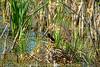 Aaarrrggghhh ... (NancySmith133) Tags: americanbittern lakeapopkanorthshorewildlifedrive centralfloridausa wetlands naturescarousel