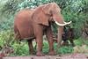 Elephant of Amboseli (Vladimir Nardin) Tags: amboseli kenya 2017 safari elephant bush approaching red