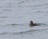 Harlequin Duck (STLBirder) Tags: carlyle clintonco il