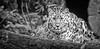 marwell leopard-1 (jdl1963) Tags: marwell leopard amur carnivore big cat feline wildlife