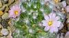 Mammallaria glassii 'Nominis-Dulcis' (J_Richard_Link) Tags: plant cactus flower macroflower blossoms mammallaria glassii nominisdulcisclose up closeup