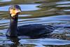 Cormorant (daniel EGV) Tags: cormoran cormorant seabird cormorano nature bird pasare pajaro ucello