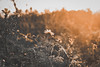 Sunrise above all living things (Marin Babanov) Tags: sunrise muted color colors story growing plants farm warm sunglow glow bokeh depth sharp detail flower flowers mythical morning blur sunny