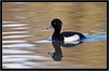 TUFTED DUCK (PHOTOGRAPHY STARTS WITH P.H.) Tags: tufted duck stover park devon d4s nikon