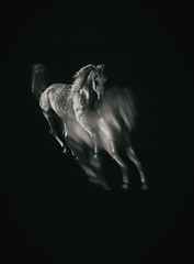 trancendence (Jen MacNeill) Tags: horse horses equine art arabian roze arabians grey bnw blackandwhite bw canter gallop jennifermacneill