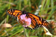 Monarch Butterfly 457 - Danaus Plexippus (Chrisser) Tags: insects insect butterflies butterfly monarch danausplexippus nature ontario canada canoneosrebelt6i canonef75300mmf456iiiusmlens nymphalidae