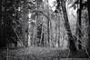 2018-01-06 ACFL (B&W) (1024x680) (-jon) Tags: anacortes skagitcounty skagit fidalgoisland sanjuanislands washingtonstate washington pnw pacificnorthwest salishsea pugetsound acfl anacortescommunityforestlands winter tree woods forest bw blackandwhite ominous foreboding a266122photographyproduction