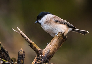 Marsh Tit in the Dearne Valley at Bolton Ings
