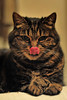 Her highness (F VDS) Tags: cat pet posing cute funny tongue portrait nikon d3s perfecttiming eyes licking 50mm