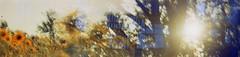(von8itchfisk) Tags: ishootfilm 35mm vonbitchfisk doubleexposure analog film lomography boxcamera boxbrownie olympusom10 filmswap cameraswap sunflowers